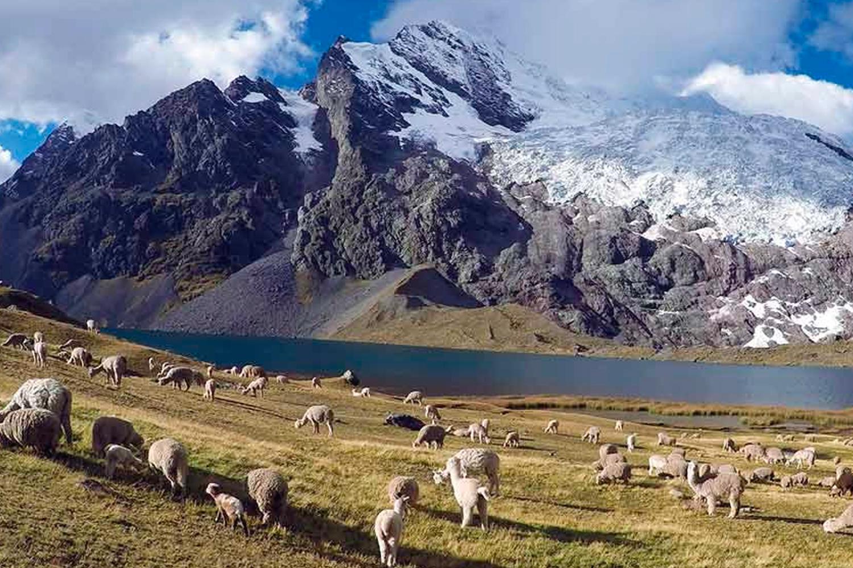 ausangate-llamas